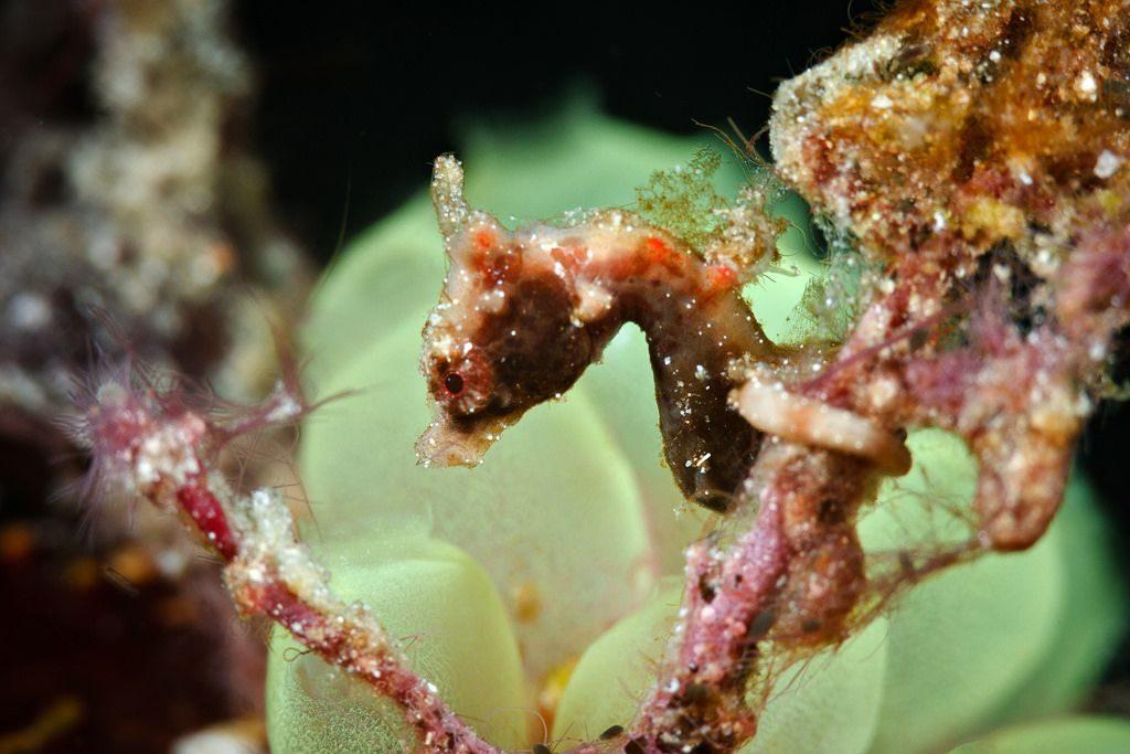 Severnsi-Pygmy-Seahorse