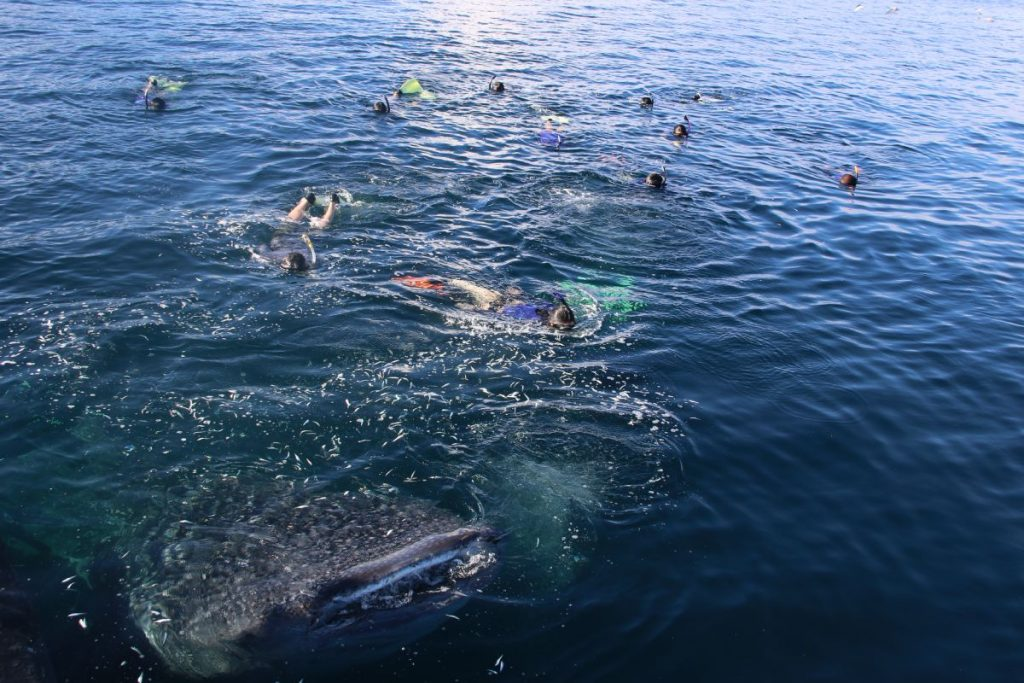 Swimming-With-The-Whale-Shark-Indonesia-LAMIMA-Luxury-Sailing-Yacht-Charter