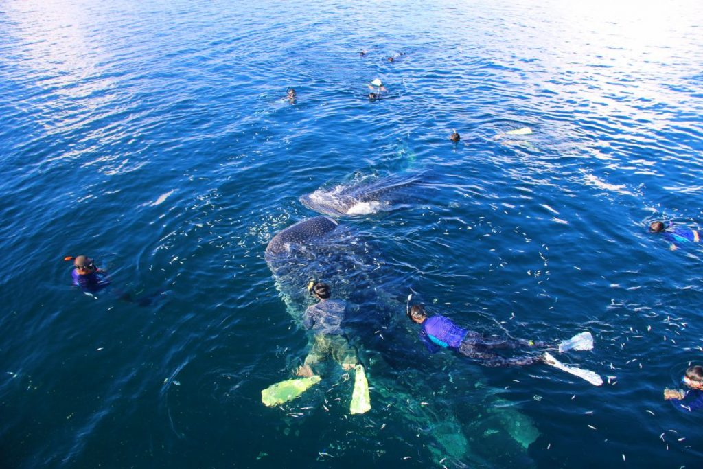 Swimming-With-The-Whale-Shark-Triton-Bay-Indonesia-LAMIMA-Luxury-Sailing-Yacht-Charter