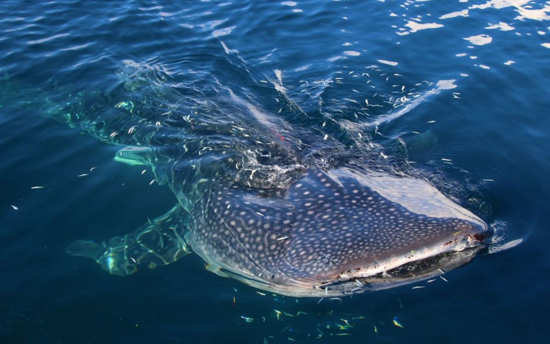 Swimming With Whale Sharks In Triton Bay