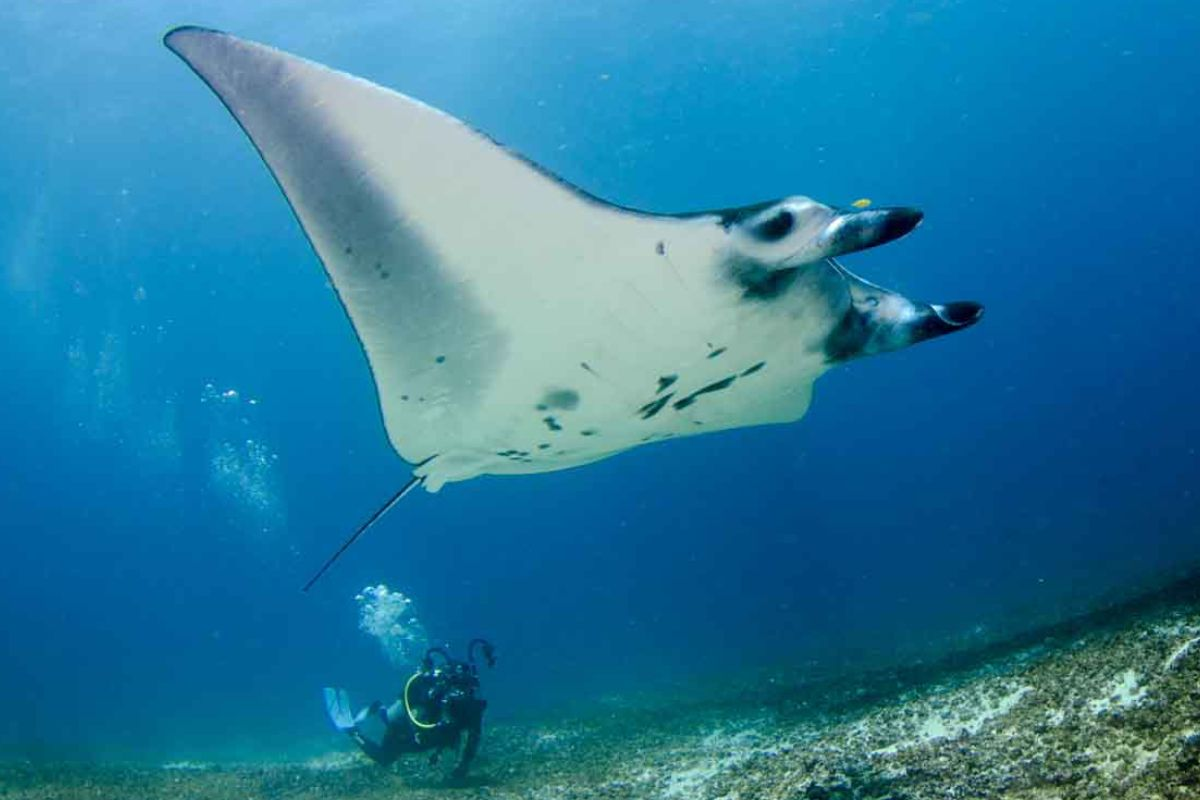Manta Rays -- Mystical Beings of The Sea - LAMIMA - Luxury Yacht Charter Indonesia