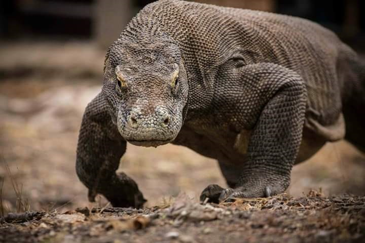 Komodo Dragons—The Fierce Last Survivors