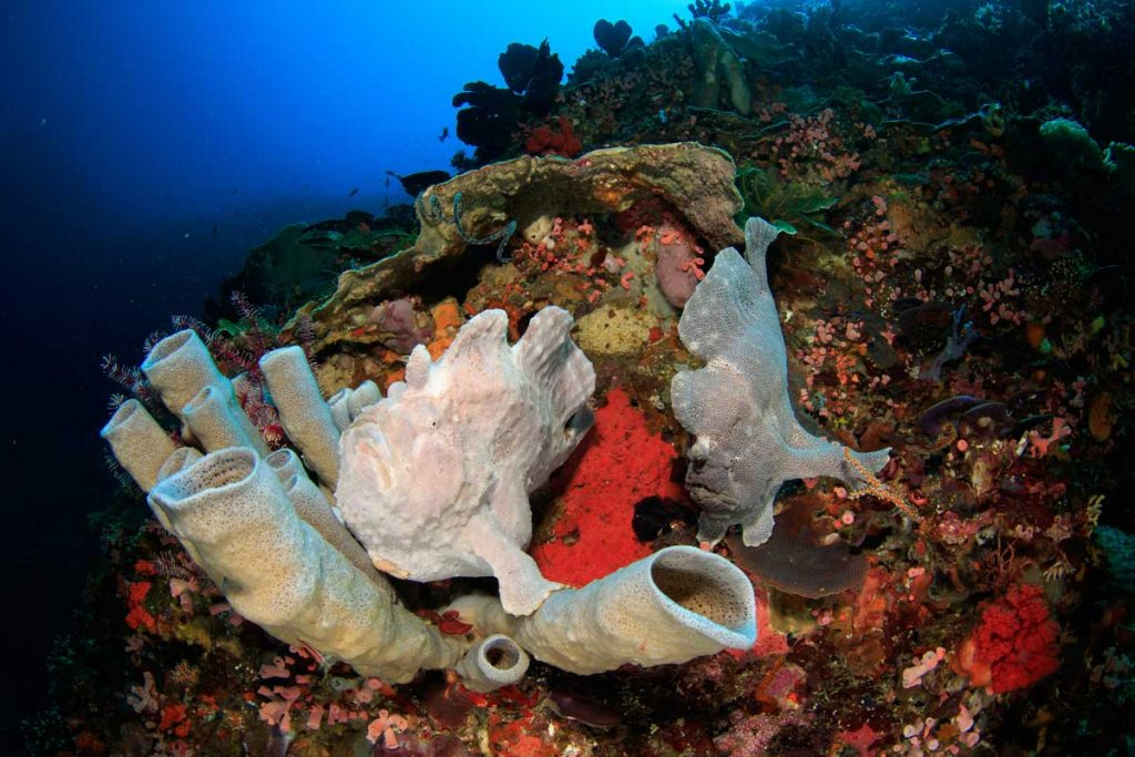 A pair of giant frogfish camouflage with sponges on a coral reef