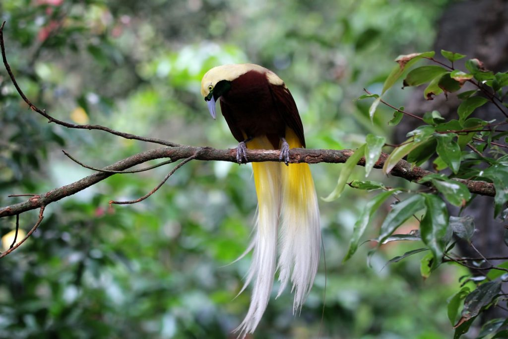 Beautiful Cendrawasih bird on a branch
