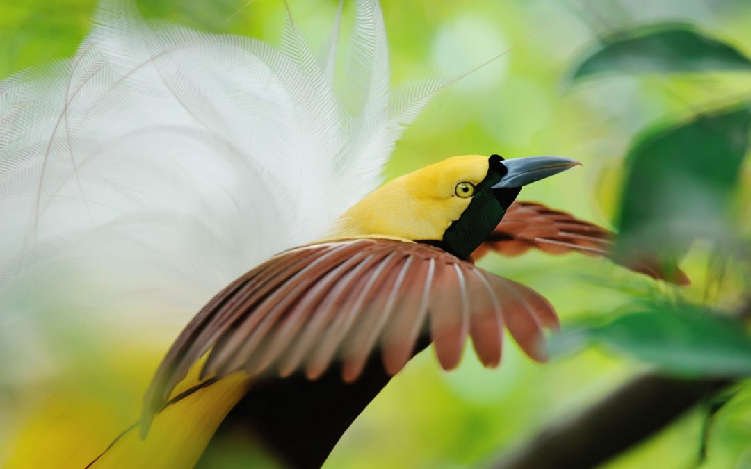 Discovering Papua's Avian Gems